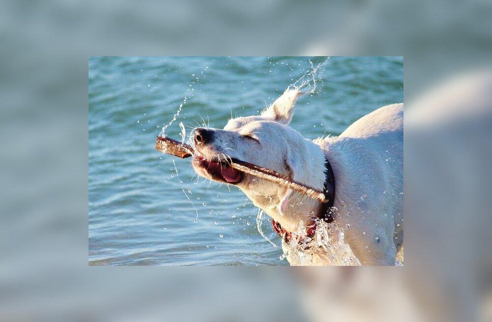 Koerad-energiapommid: 11 koeratõugu, kes on sportlikeks väljakutseteks alati valmis