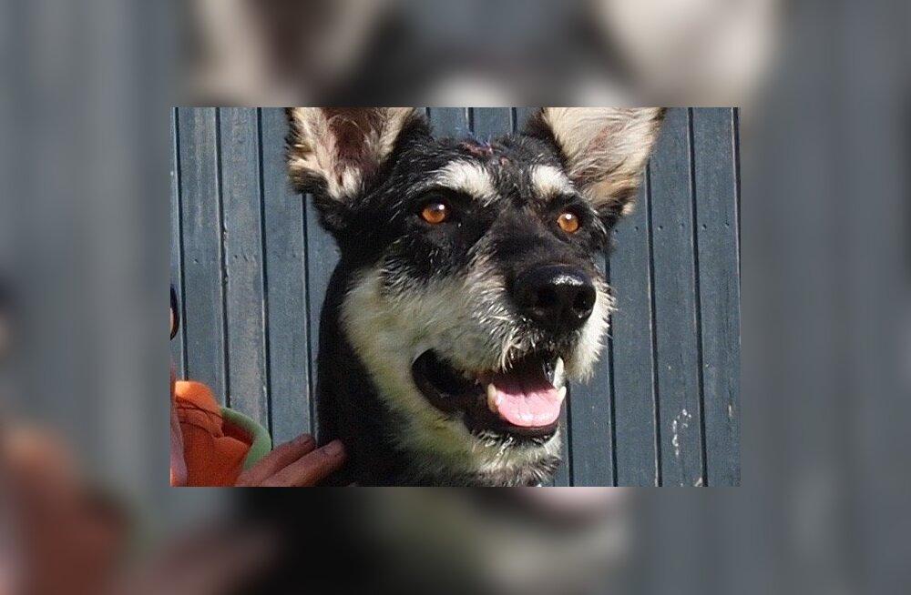 Loomakaitsjad tunnustavad kolme Rapla politseinikku piinatud koera päästmise eest