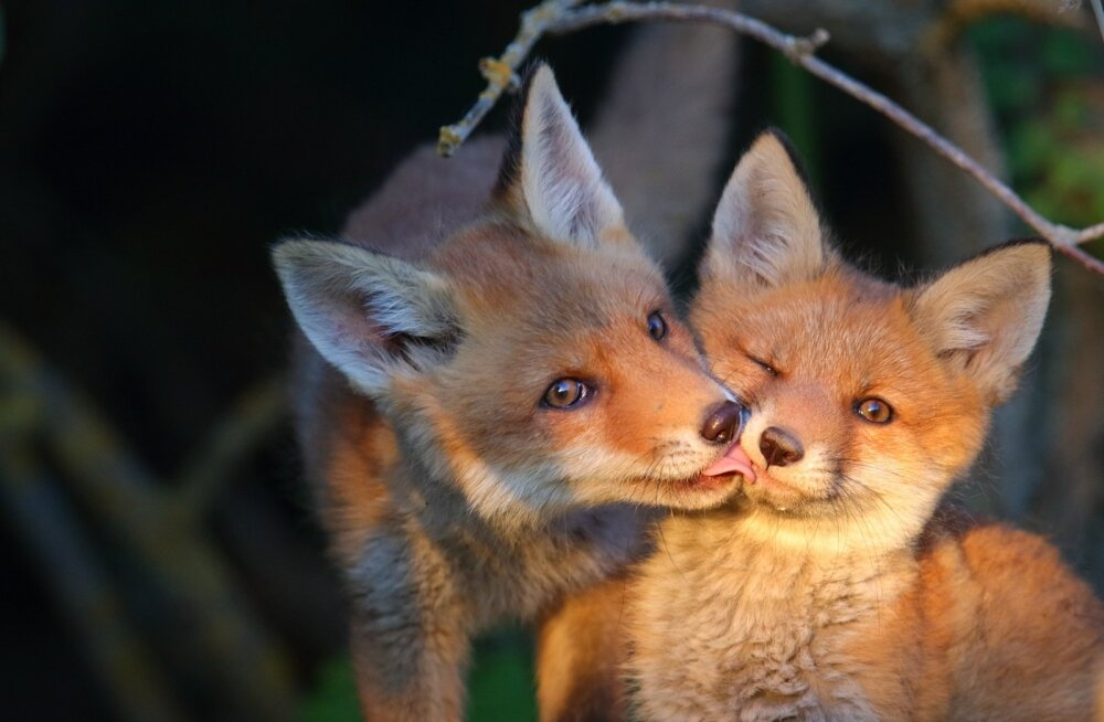 Armas GALERII | Juunikuu on aeg, kus pea kõikjal looduses võib loomalapsi kohata