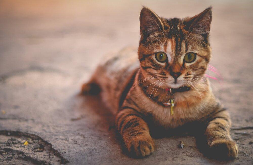 PÕNEV TEST   Tahad teada, milline kass sa oled?