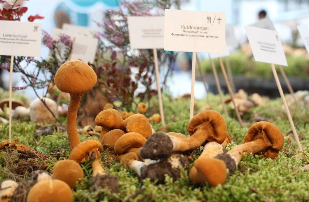 Eesti Loodusmuuseumi sügisese seenenäituse avas seenefestival