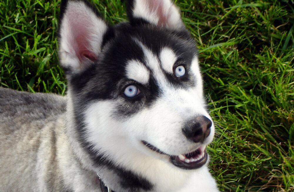 Husky - siniste silmadega iludus, kelle tuline koerasüda vajab pühendunud peremeest