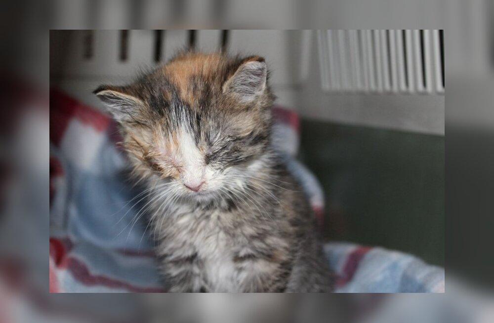 Kolme kiisu lugu | väärkoheldud kassid on pidanud kannatama nii nälga, karmi pakast kui ka väärkohtlemist