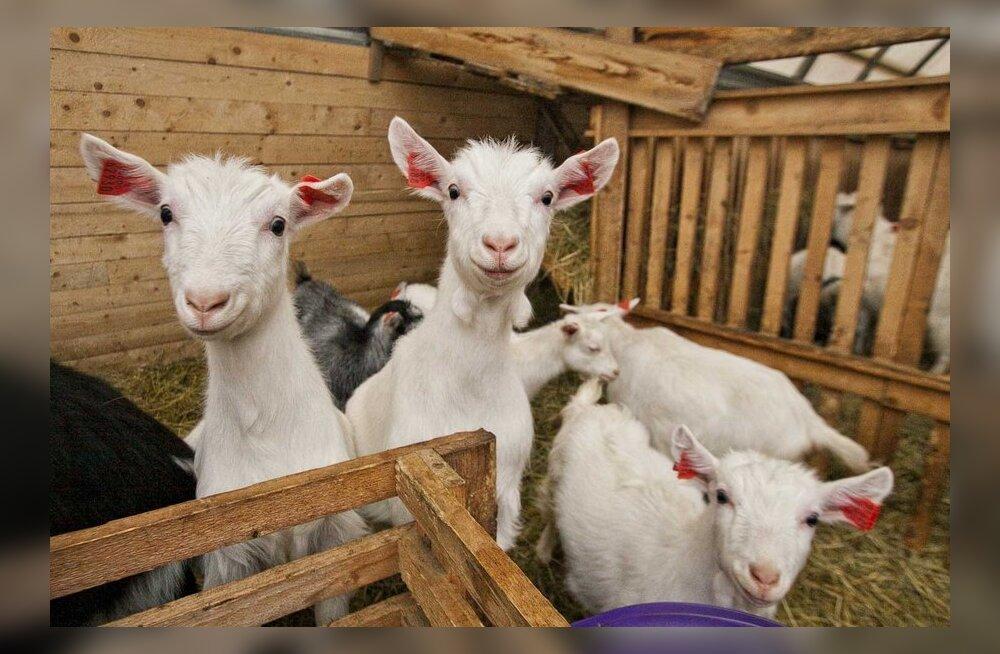 Kitsekasvatajad tahavad kitsede ja lammaste võrdset kohtlemist