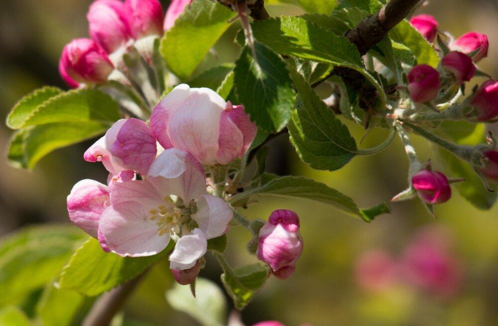 KAS TEADSID | Kuidas tunda ära, et õunapuu-õielõikaja hävitab saagi?