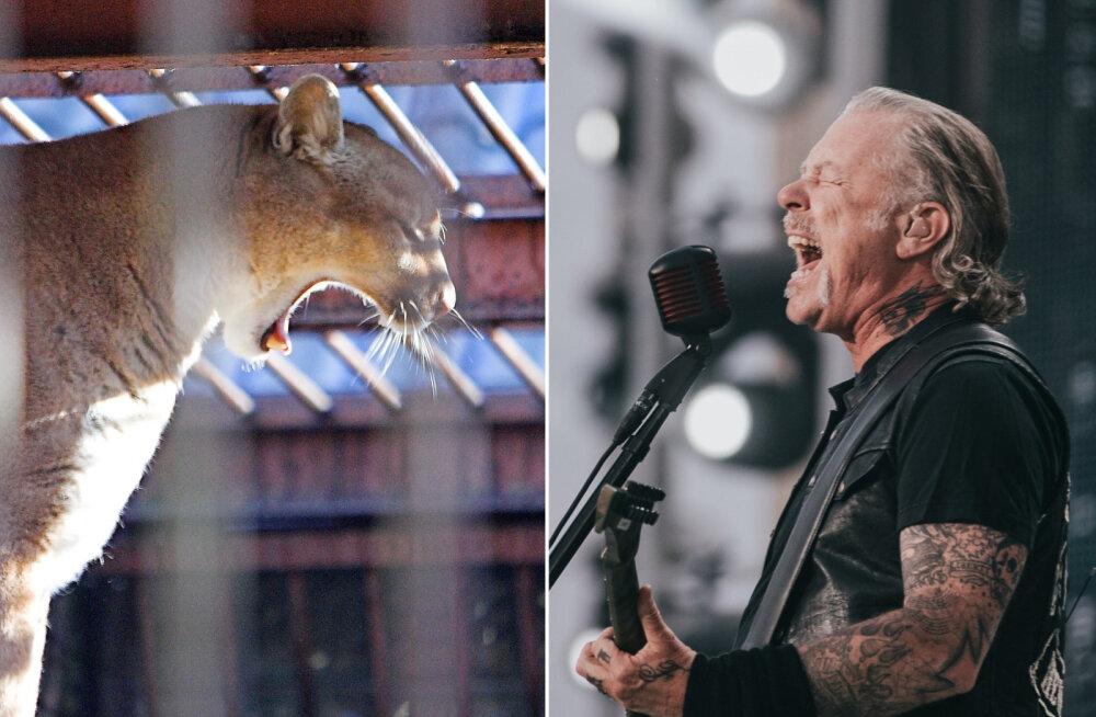 <em>Metal</em>iga metslooma vastu | Naine pääses Metallica abil puuma käest ja see mis edasi juhtus, oli veel üllatavam!