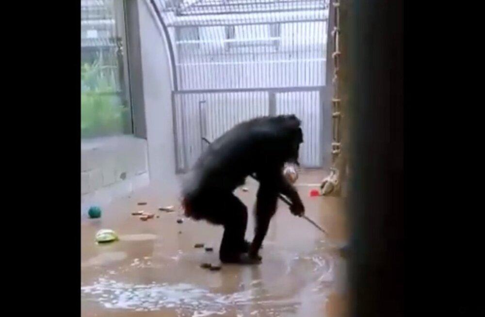 ВИДЕО   Смотрите, что произошло в Таллиннском зоопарке, когда сотрудник забыл в вольере швабру