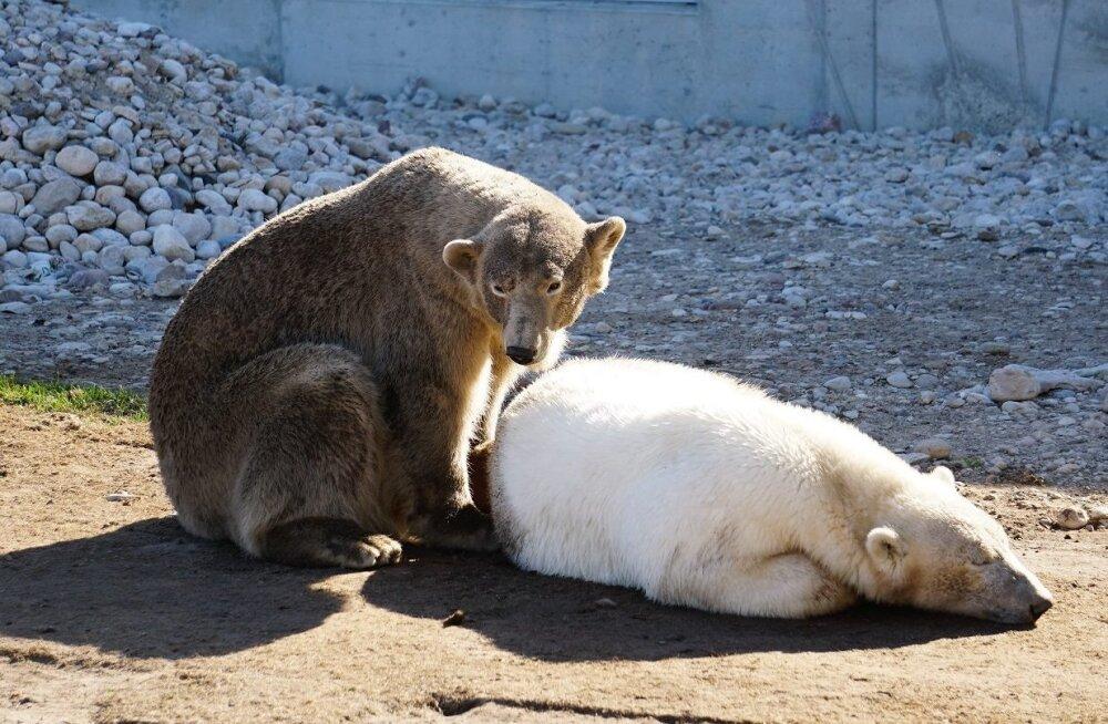 FOTO | Jääkaru Friida on end suviselt pruuniks päevitanud