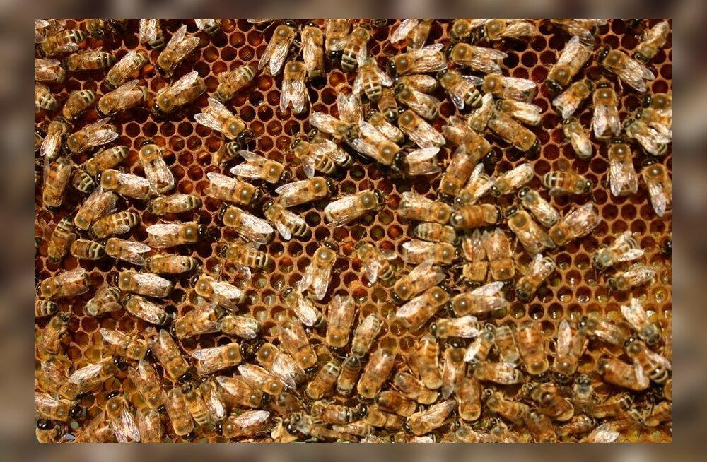 Saare mesinikud hädas haudmemädanikuga