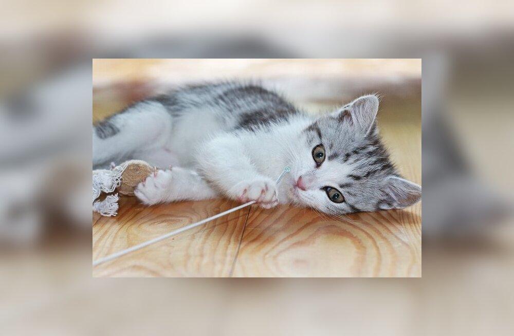 Kuidas kujundada kassi mänguharjumusi ja miks tasub mänguasju võimalikult sageli vahetada?