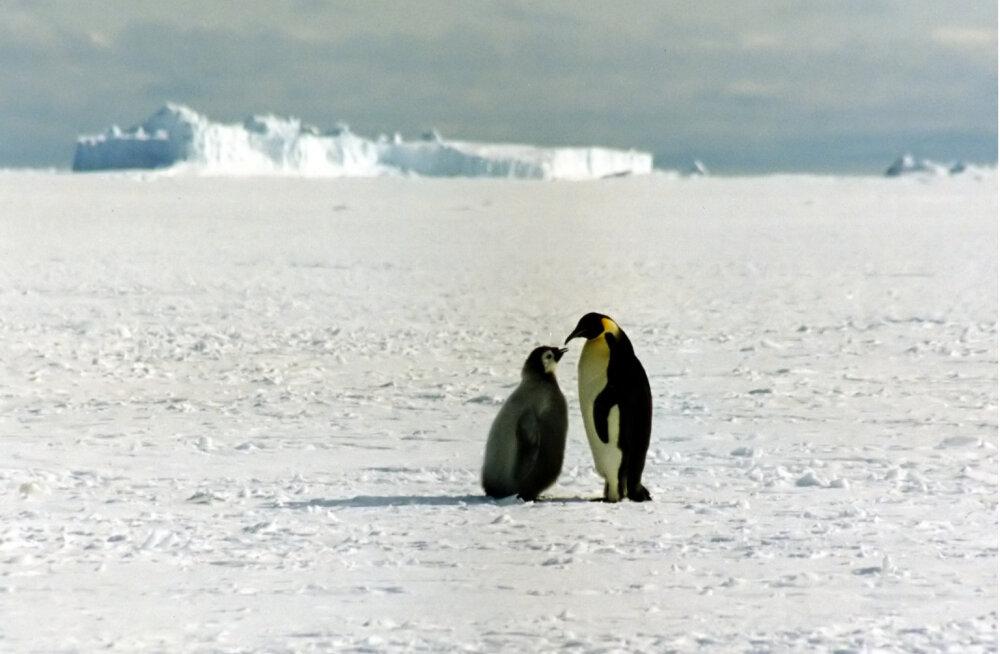 Kuidas kõledas jääkõrbes ellu jääda? Loe, kuidas keiserpingviin Antarktikas hakkama saab