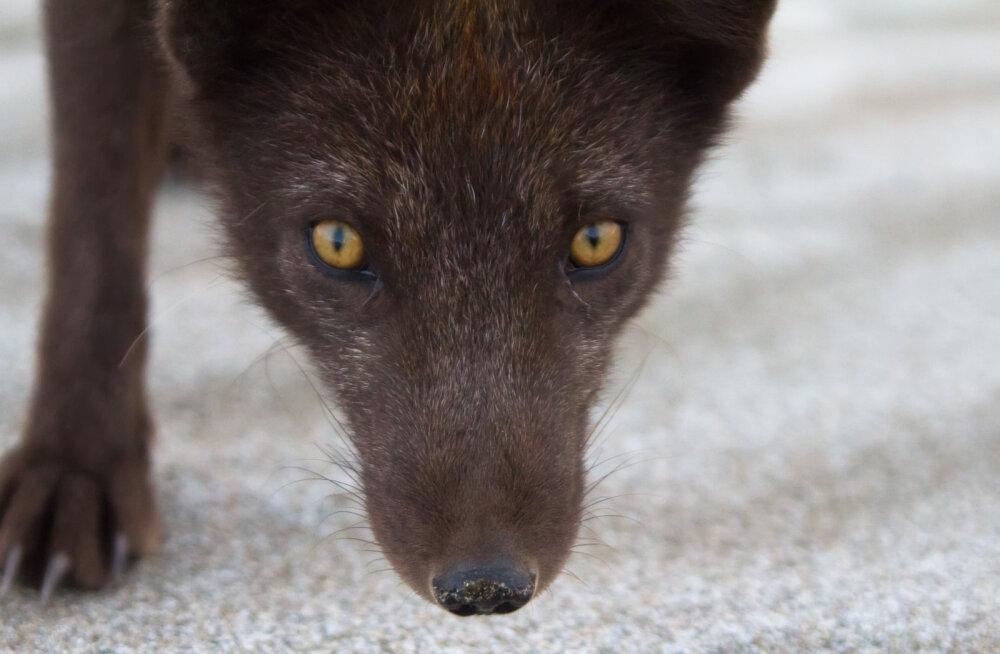 Loodusteadlased avaldavad avalikus kirjas toetust karusloomafarmide keelustamisele Eestis