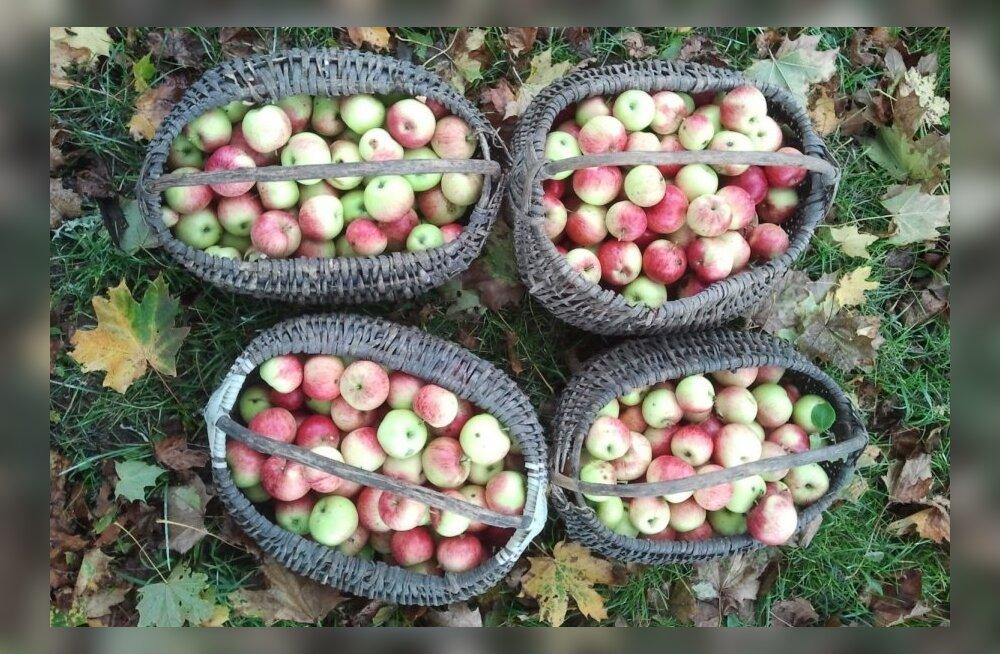 FOTOD JA VIDEO: Eriti viljakas õunaaasta soosib head tervist talveks