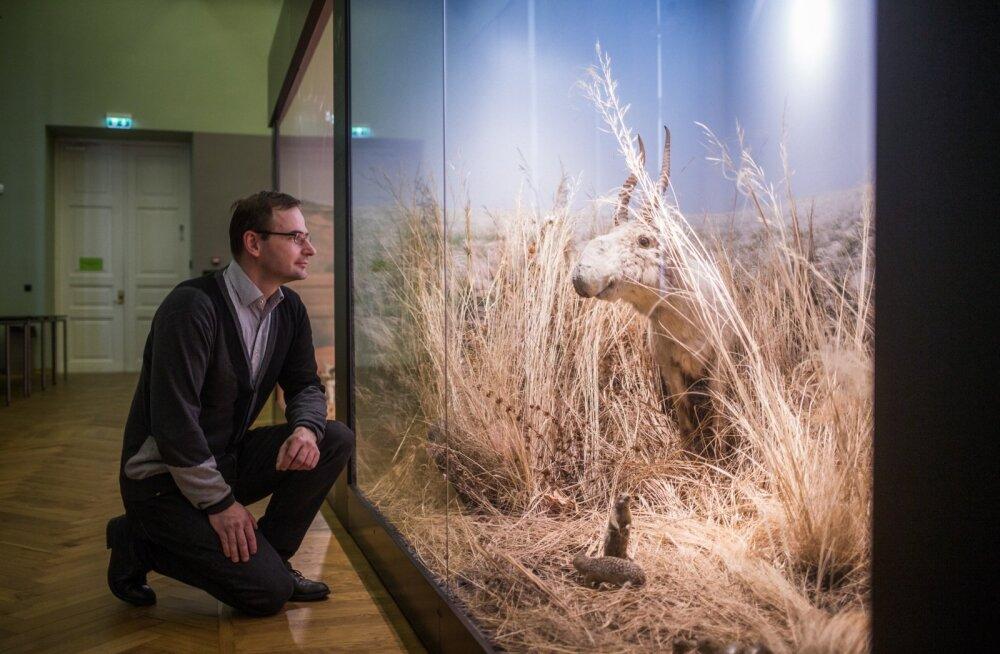 Asko Lõhmus vaatab Tartu ülikooli loodusmuuseumis tõtt saigaga. See kunagi Venemaa aladel laialt levinud antiloobiliik on praeguseks jõudnud väljasuremise äärele.