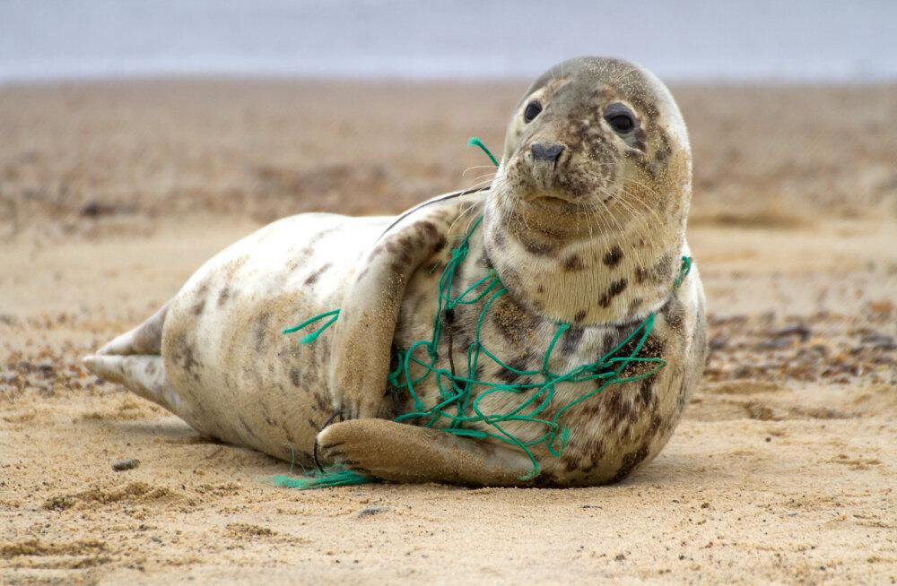 Hallhüljes, kelle kaela ümber on kinni jäänud plastprügi