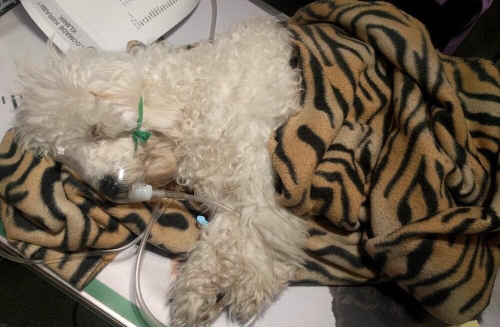 Mustamäel elav koeraomanik kahtlustab mürgitamist: koer suri kahtlastel asjaoludel