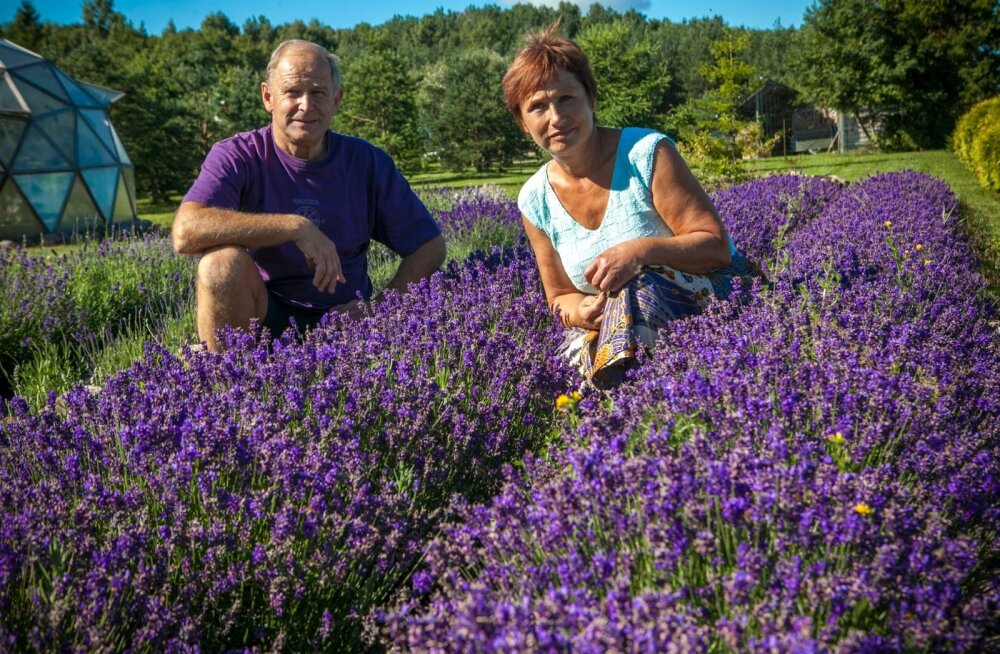 """""""Kasvatame lavendlit juba teist aastat ja oleme selle taime raviomadustest vaimustunud,"""" räägivad Lii ja Uno Kivisalu oma taluõue rajatud istanduses."""