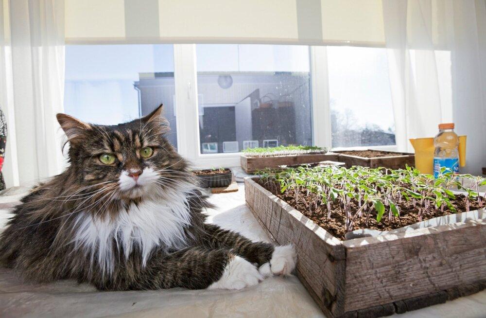 Laiemaks ehitatud aknalaual on rohkem ruumi nii taimedele kui kassile.