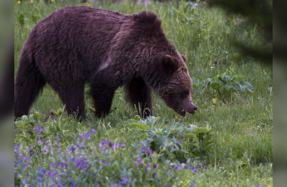 Kagu-Soome mesinikud on hädas: karud söövad kolmandiku meest