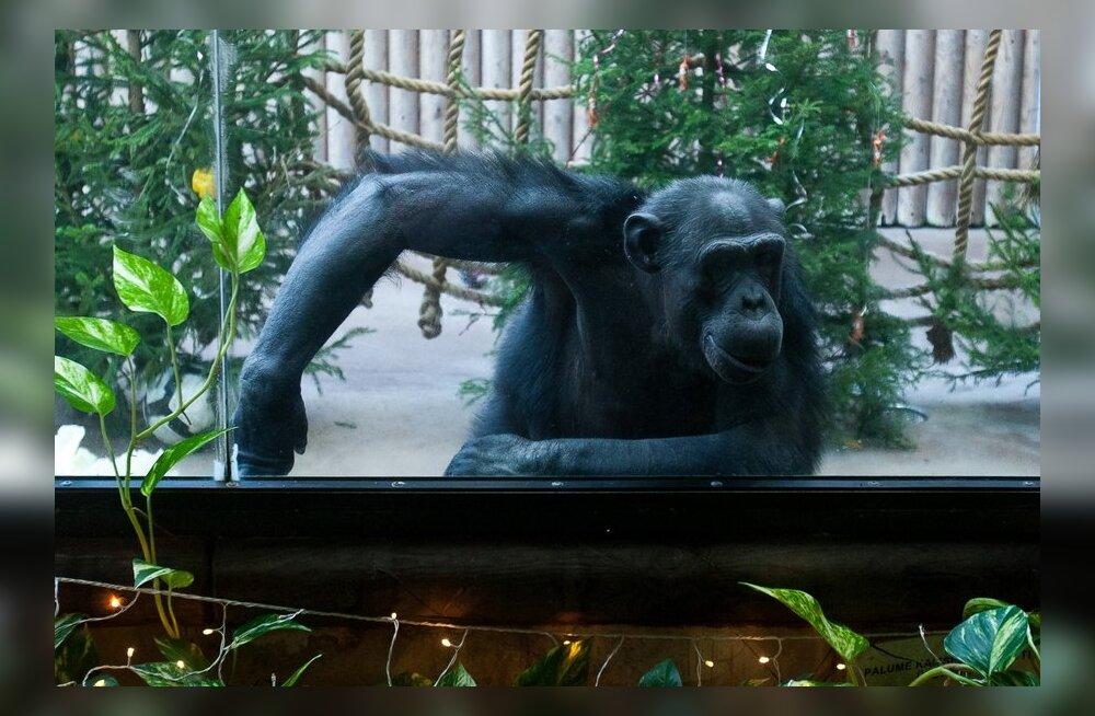 Mitte ainult koerad-kassid, vaid ka šimpansid on tõelised isiksused