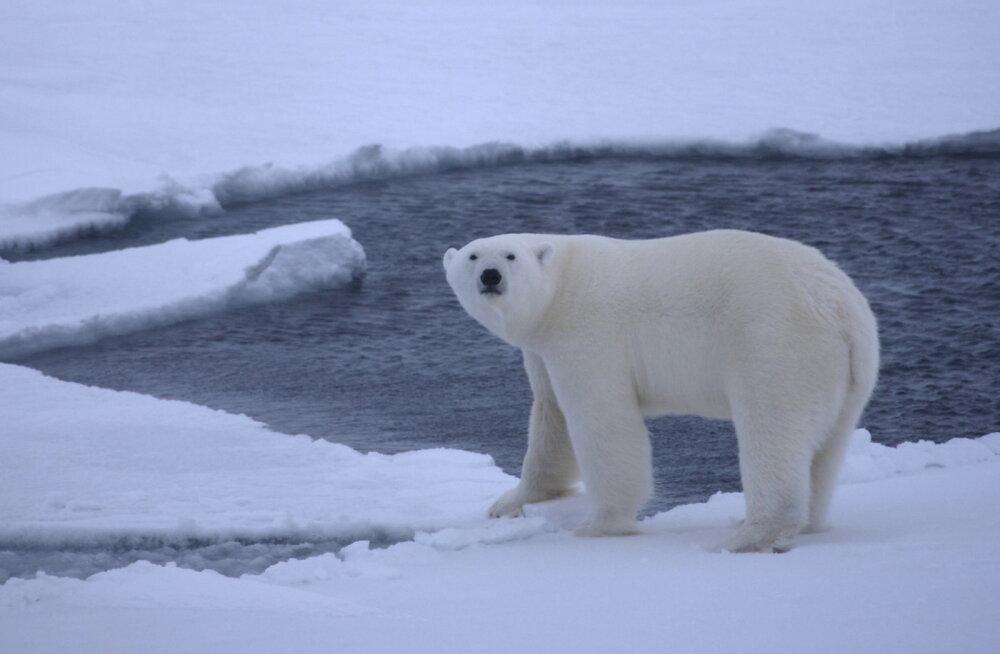 VIDEO: Uued olud, uus menüü - jääkarud ei saa enam hülgeid püüda ja on leidnud uue saagi