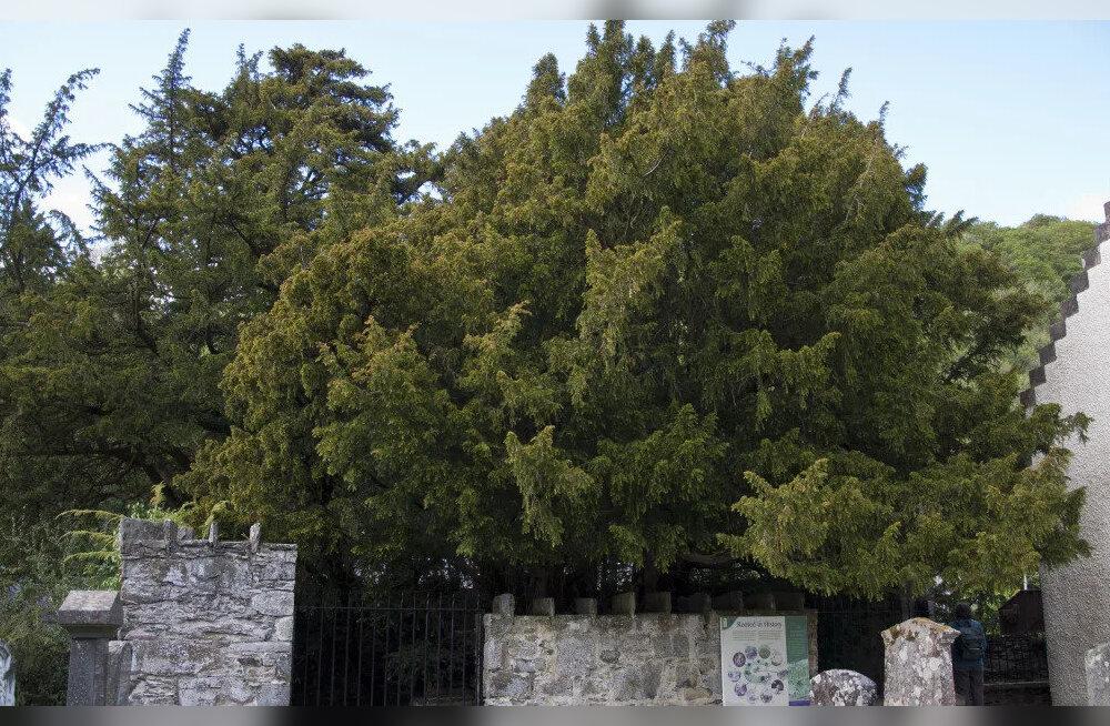 Turistide tulv ajab Ühendkuningriigi vanima puu stressist sugu vahetama