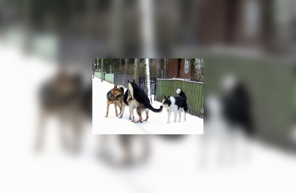 Koerad