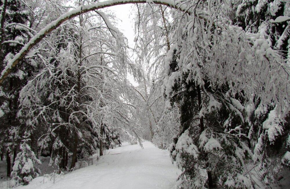 Leili metsalood | Räätsadega talvises metsas