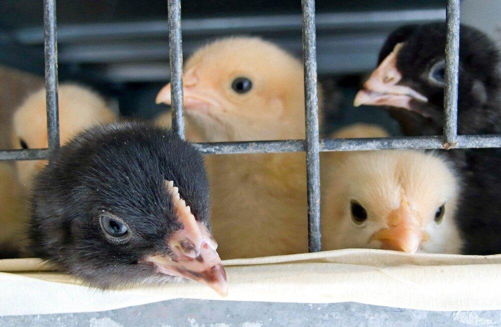 Anna oma panus: Euroopa kodanikualgatus soovib lõpetada loomadele piinarikka puurideajastu