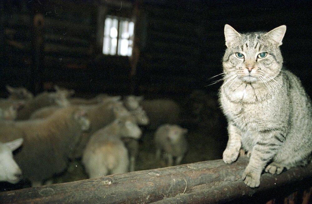 Kassidel ei tohiks lasta jahti pidada, sest ka näriliste või lindude kudedes oleva koetsüsti söömisel võib kass nakatuda toksoplasmoosi.