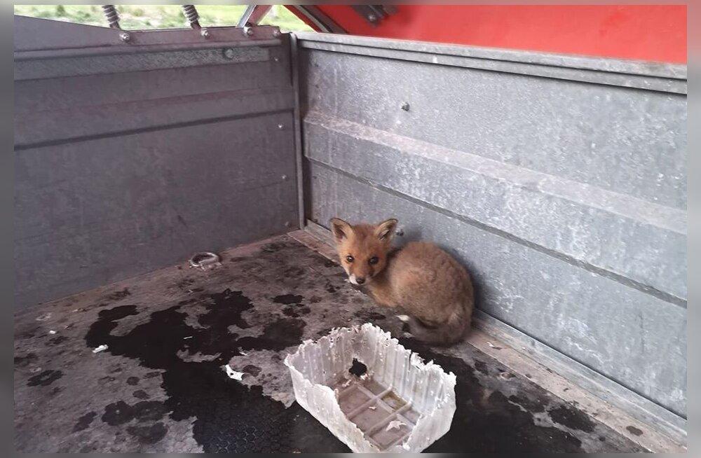 Maruvihased loomakaitsjad süüdistavad vallaametnikku rebasepoegade hukkumises