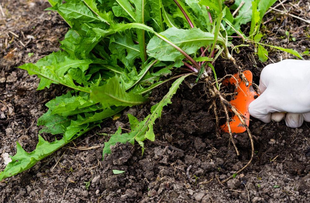 Need sügisesed aiatööd tuleb ära teha, sest siis on kevadel lihtsam