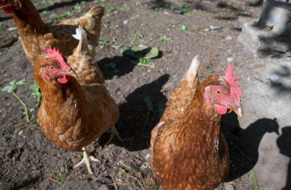 Tänavu tohib kodulinde õues pidada, kuna linnugripi oht on väike