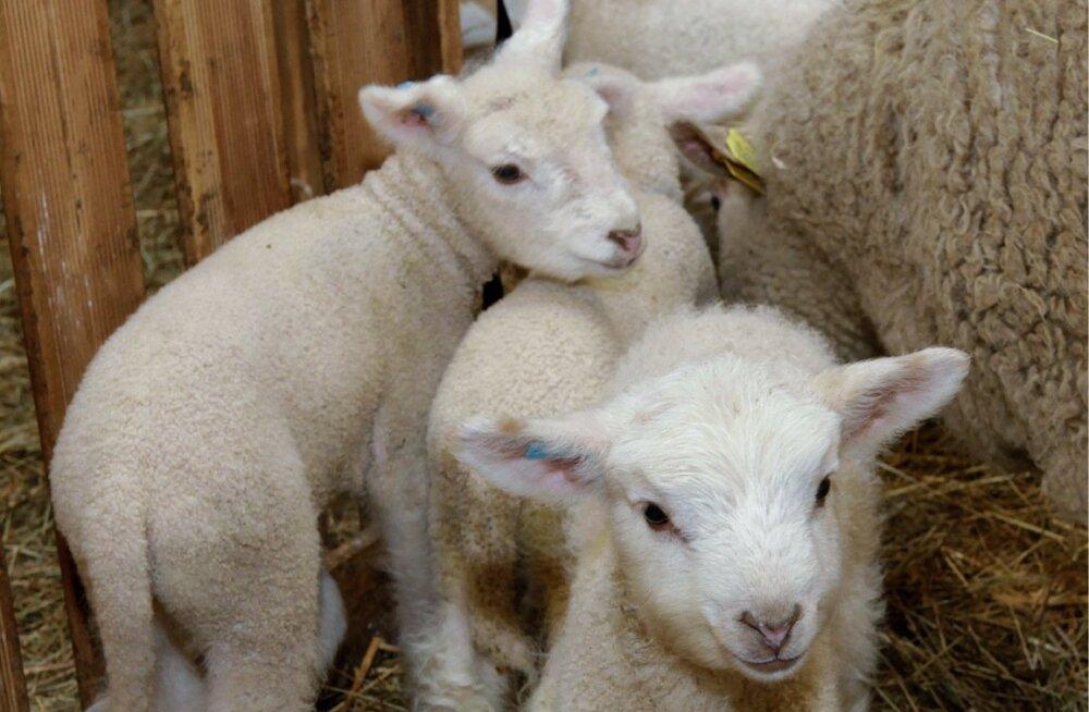 Lambapidaja peab teadma, mis lammast ta tahab.