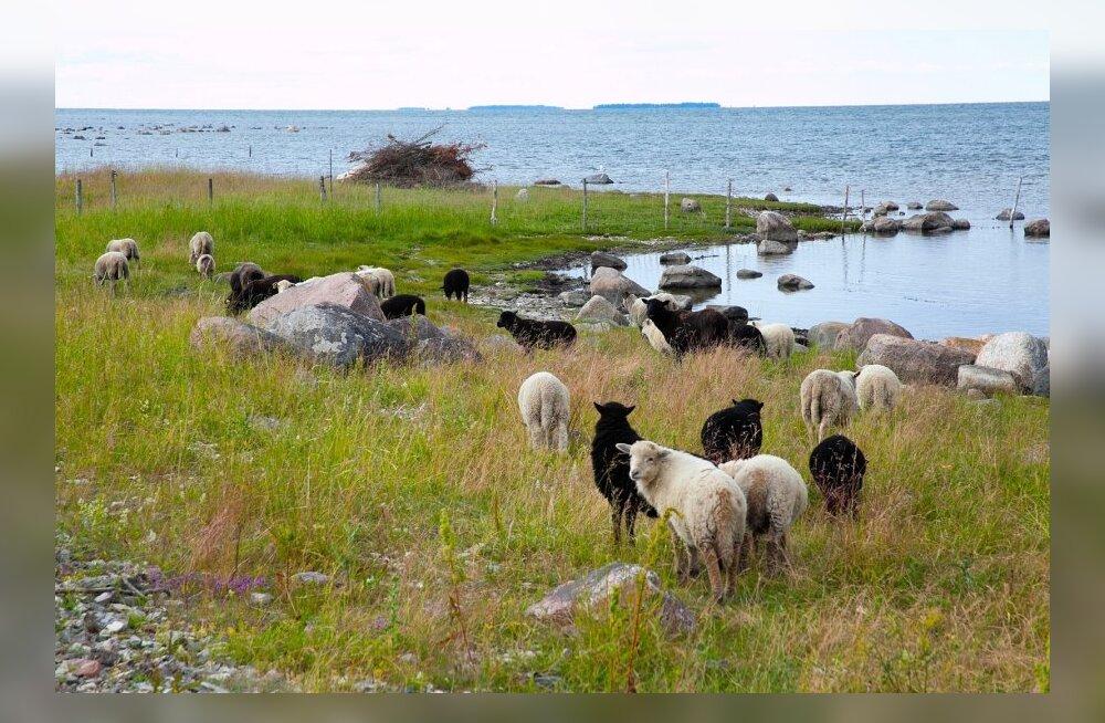 Kadri Tali alvarid ja lambad, Kallaste küla, Muhu saarel