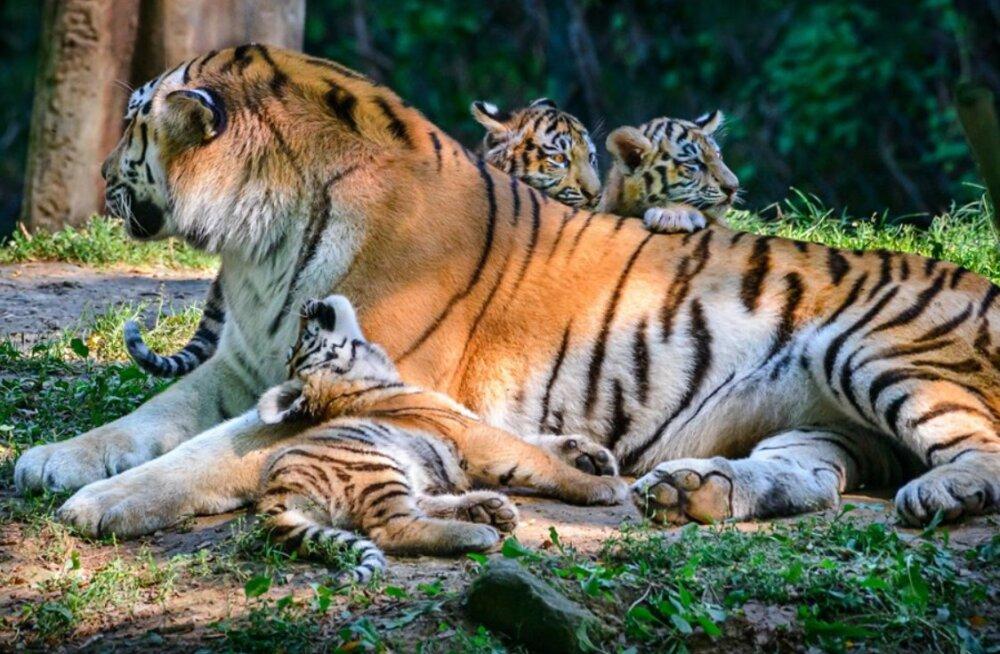Amuuri tiiger Pootsmani kutsikad pääsesid suurde õueaedikusse