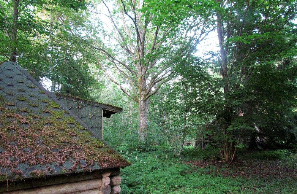 Leili metsalood | Taluõue vanad puud