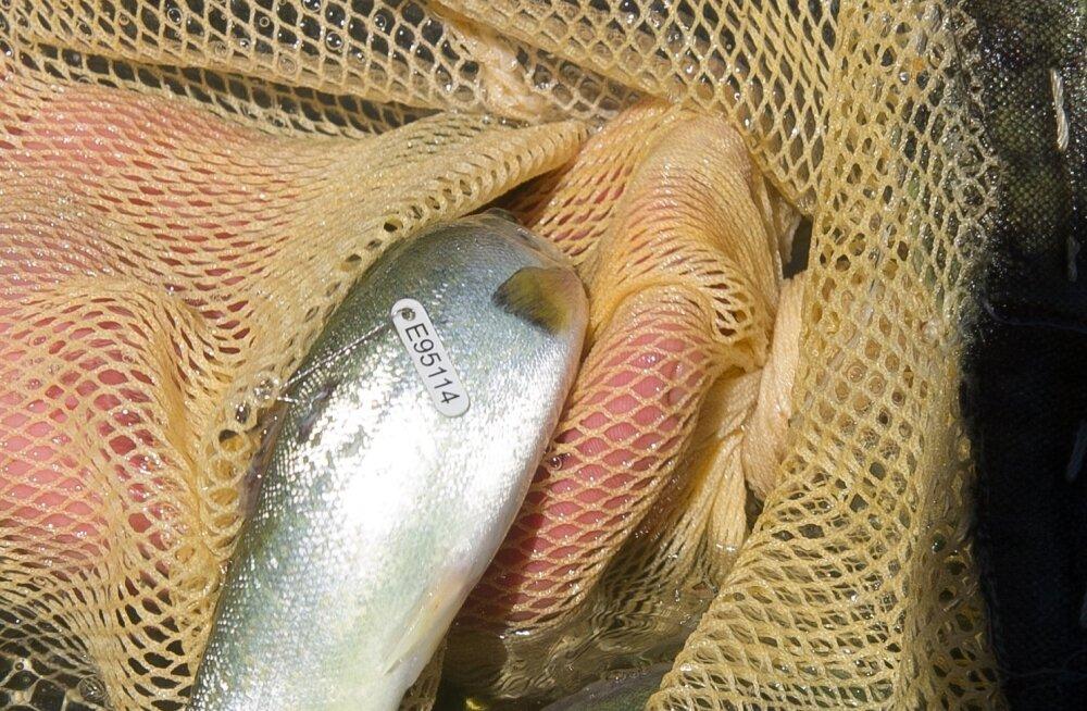 Poest saab kala odavamalt