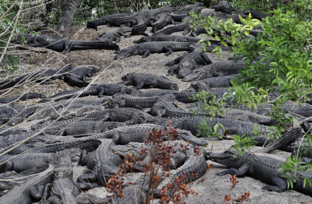 Рыбаки спасли голого мужчину с окруженного крокодилами острова