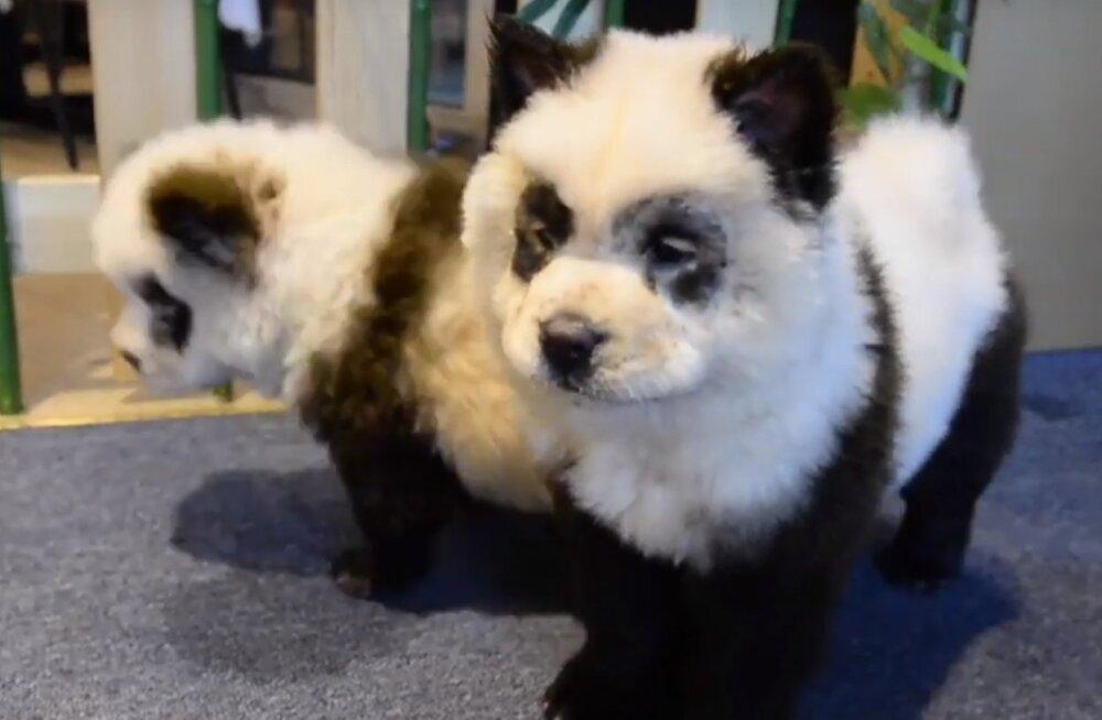Hiinas äsja avatud kohvikus jooksevad ringi pandapoegadeks värvitud koerad