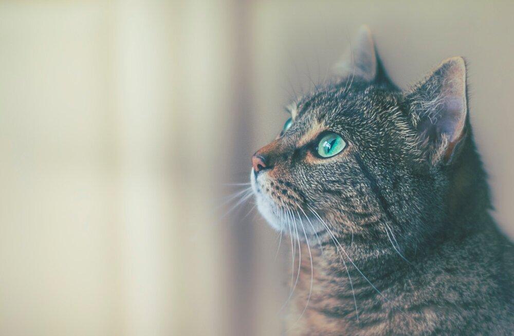 Soovid võtta varjupaigast kassi? Kuus asja, mida peaksid kindlasti silmas pidama