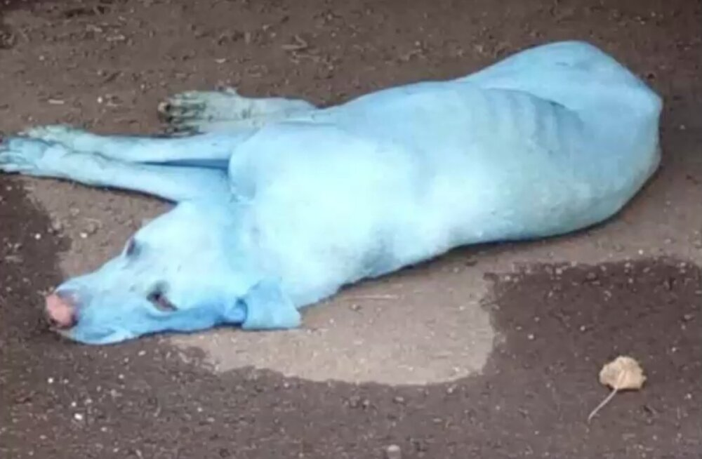 Miks on Indias Mumbais elavad hulkuvad koerad hakanud justkui iseenesest siniseks värvuma?