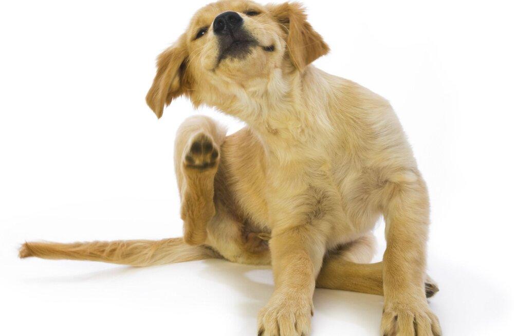 Ohumärgid, mis võivad viidata koera tõsisele tervisehädale
