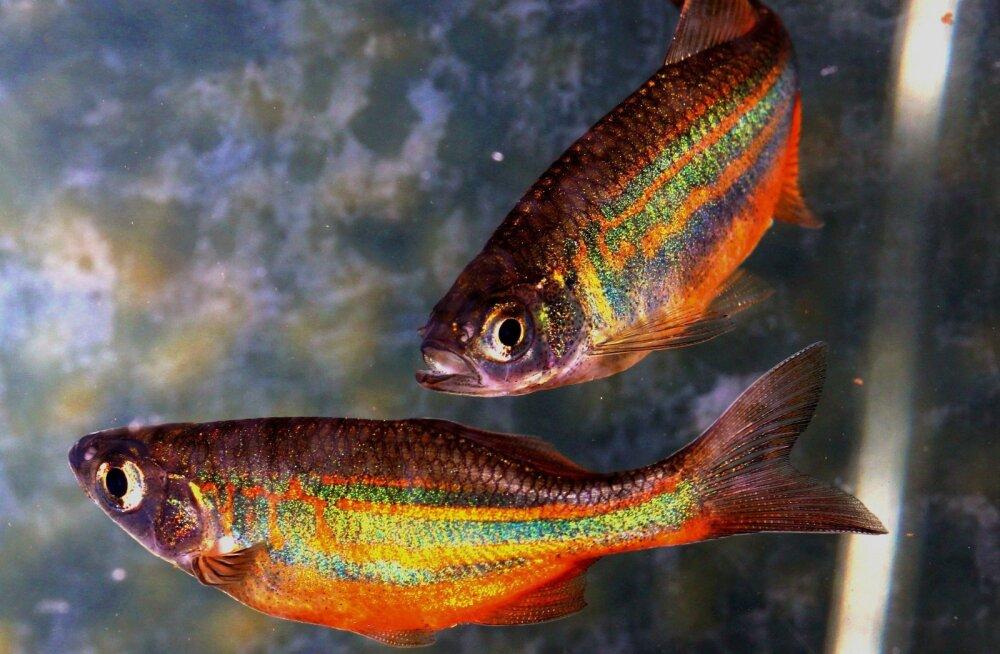 Teadlased: Kalad tunnevad valu sarnaselt imetajatega