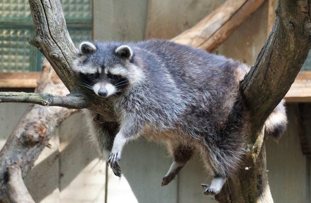 Loomaaia laupäevad on septembris okassigade ja pesukarude päralt