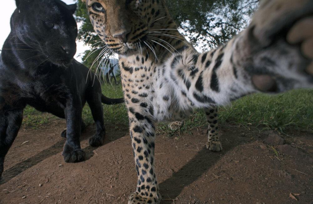 """""""Ради этого снимка я готов был ждать и шесть лет"""". Фотограф дикой природы выжидал шесть дней, чтобы сделать потрясающее фото леопарда и пантеры"""