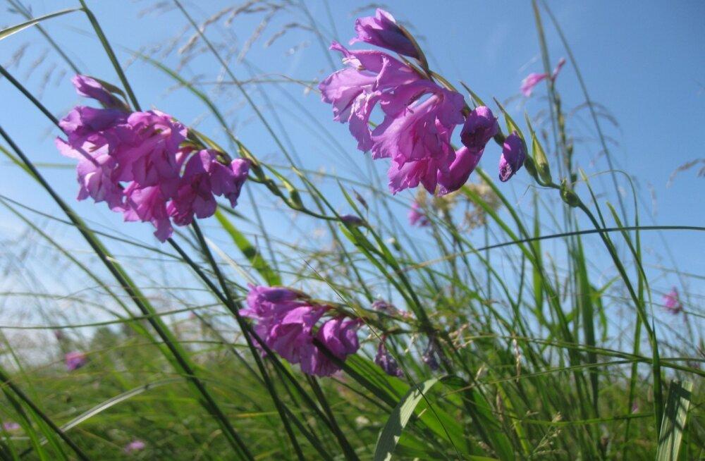 Enamik inimesi pole Eesti looduses kasvavat ainukest gladioolilist, niidu-kuremõõka näinudki