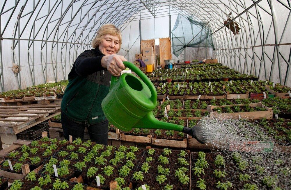 """""""Meie taimed on müügiks valmis mai algul, aga osa inimesi tuleb meilt ju ba varem taimi ostma,"""" teatab Jõeääre talu perenaine Laivi Laks."""