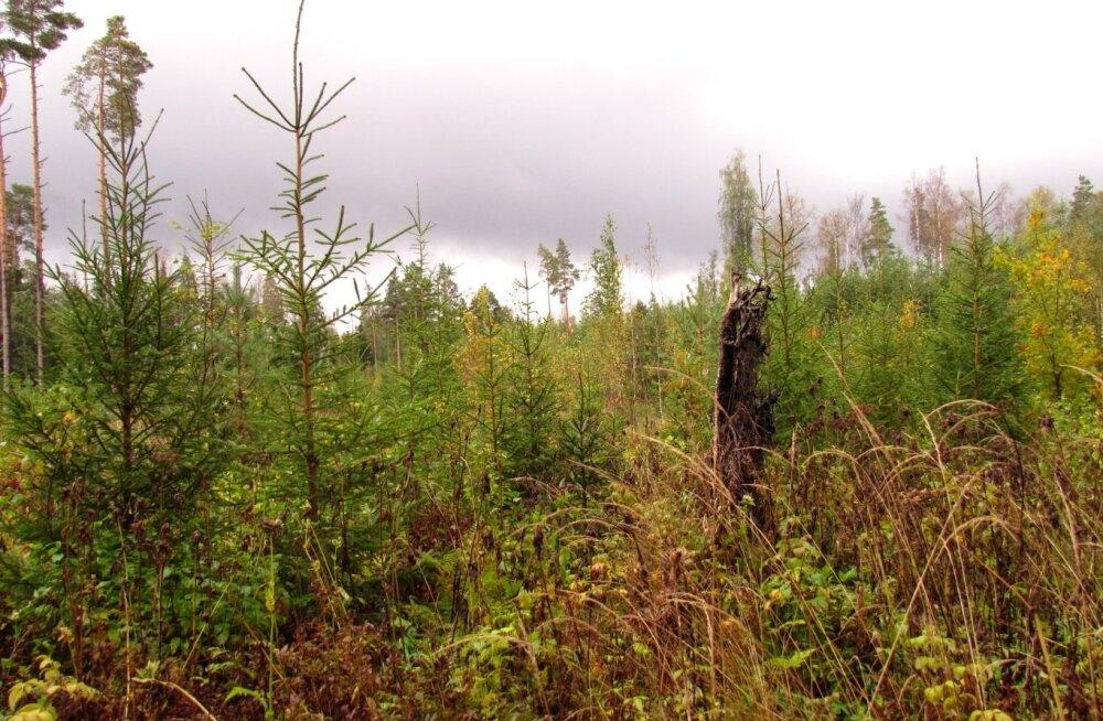 PANE TÄHELE | Kuidas vormistada müügilepingut, et kasvava metsa müügil petta ei saaks?