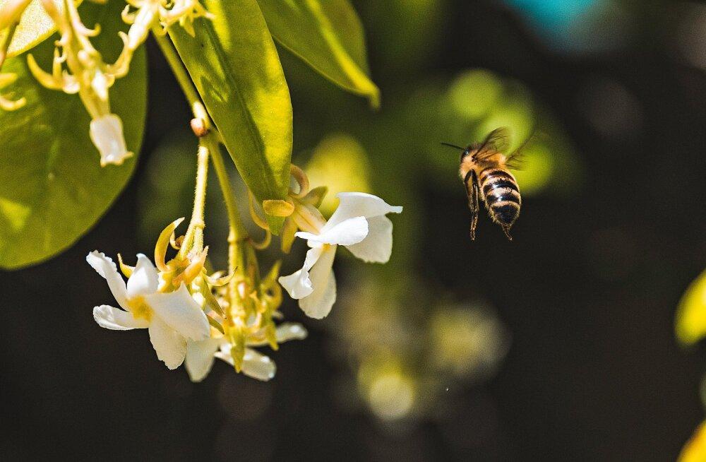 Eesti Mesinike Liit: tänavu on mesilaste mürgistusi olnud kordades rohkem, kuid süüdlased jäävad enamasti välja selgitamata